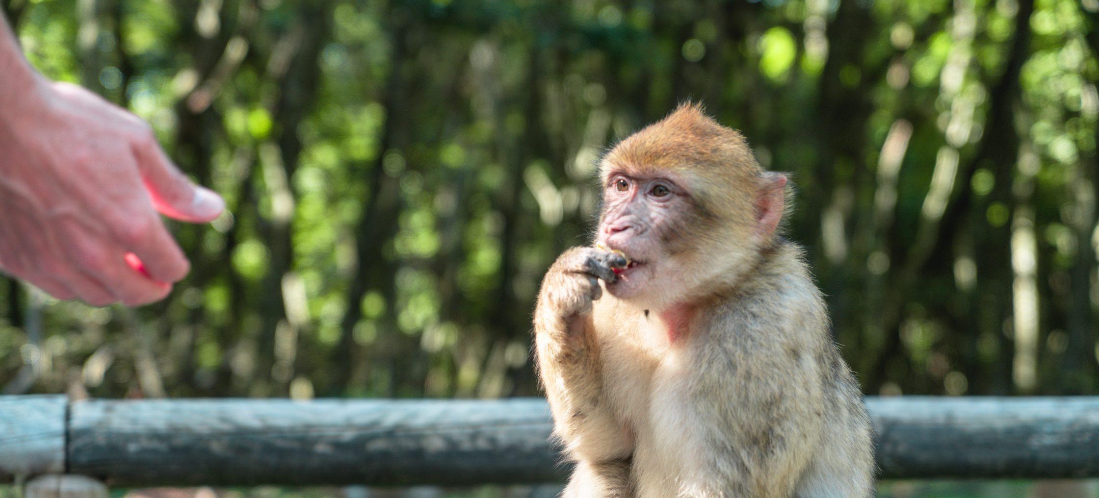 Bodensee Affe schaut Hand an