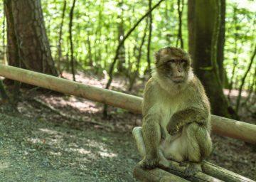 Bodensee Affenberg sitzender Affe