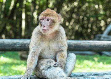 Bodensee Affenberg, sitzender Affe