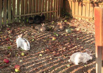 Bodensee Gitzenweiler Kaninchen