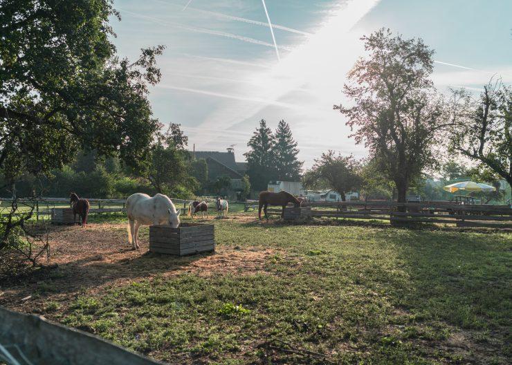 Bodensee Gitzenweiler Pferde