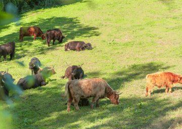 Bodensee Zelglihof Rinder am grasen