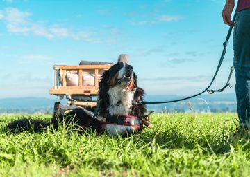 Bodensee-Zelglihof-Sennenhund