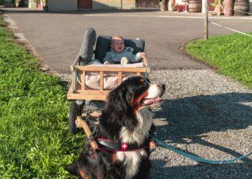 bodensee zelglihof sennenhund baby e1589466049270